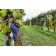 Vineyard Tour Experience - with Tasting, Tour and Lunch